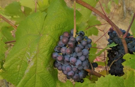 Broadleaved melnik vine