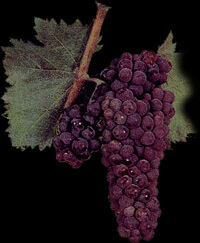 The Pamid grape bunch