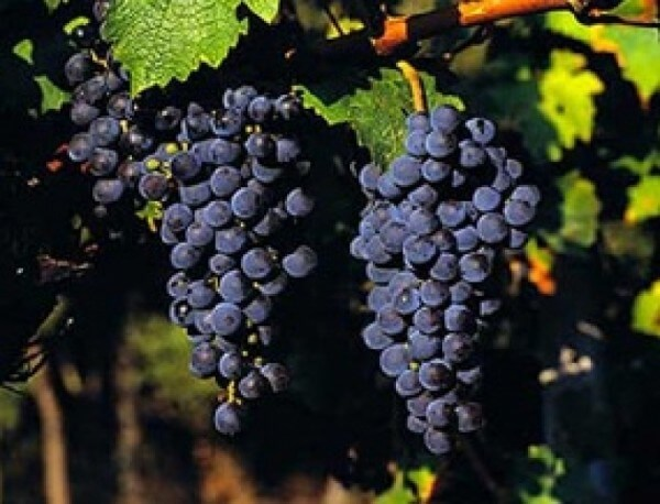 Ranna Melnishka Loza - Bulgarian hybrid grape variety