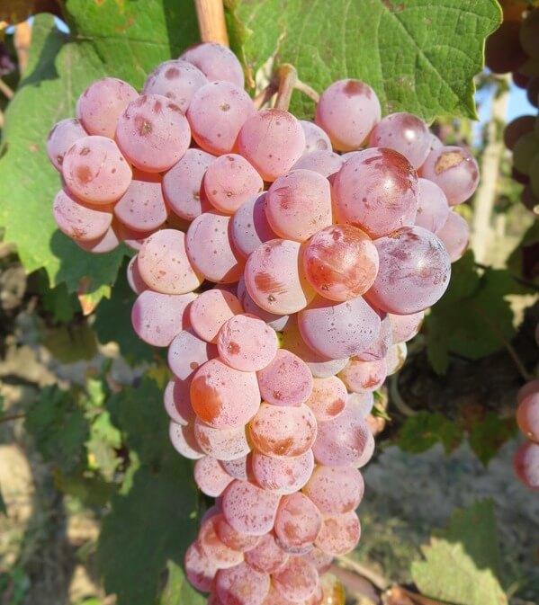 Red Misket Bulgarian grape variety