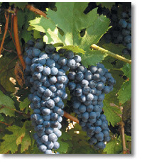Rubin - hybrid Bulgarian grape variety