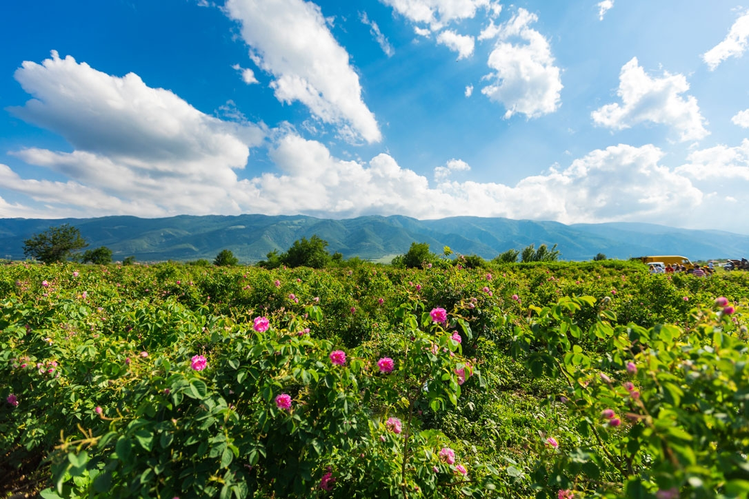 copsa rose valley